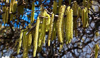 Pollensesongen kan starte i neste uke