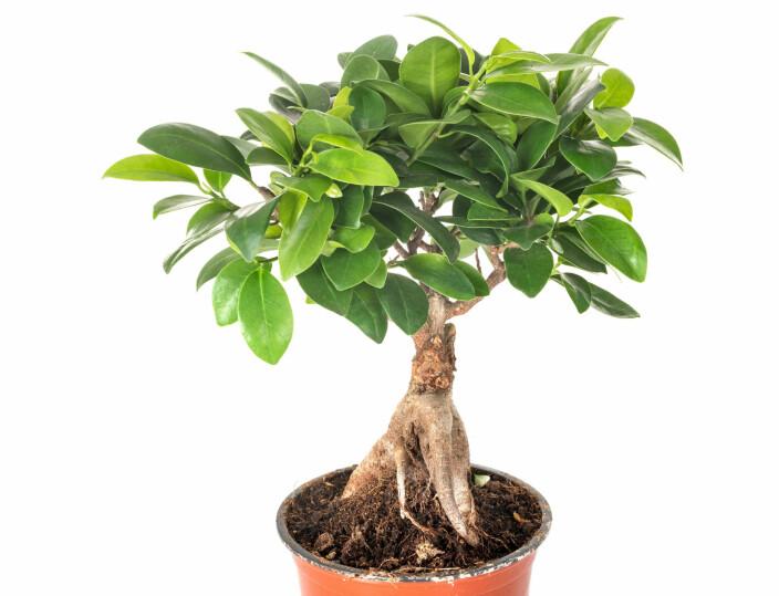 Bjørkefiken (Ficus benjamina).