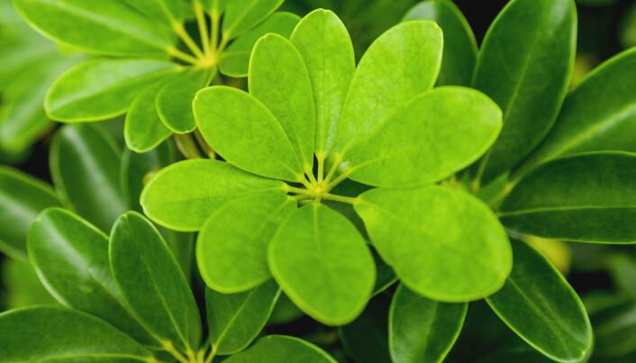 Paraplytre (Schefflera arboricola).