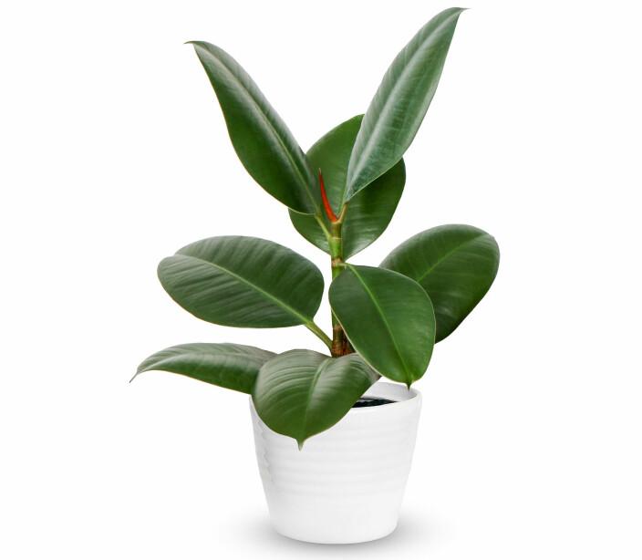 Gummiplante (Ficus elastica).